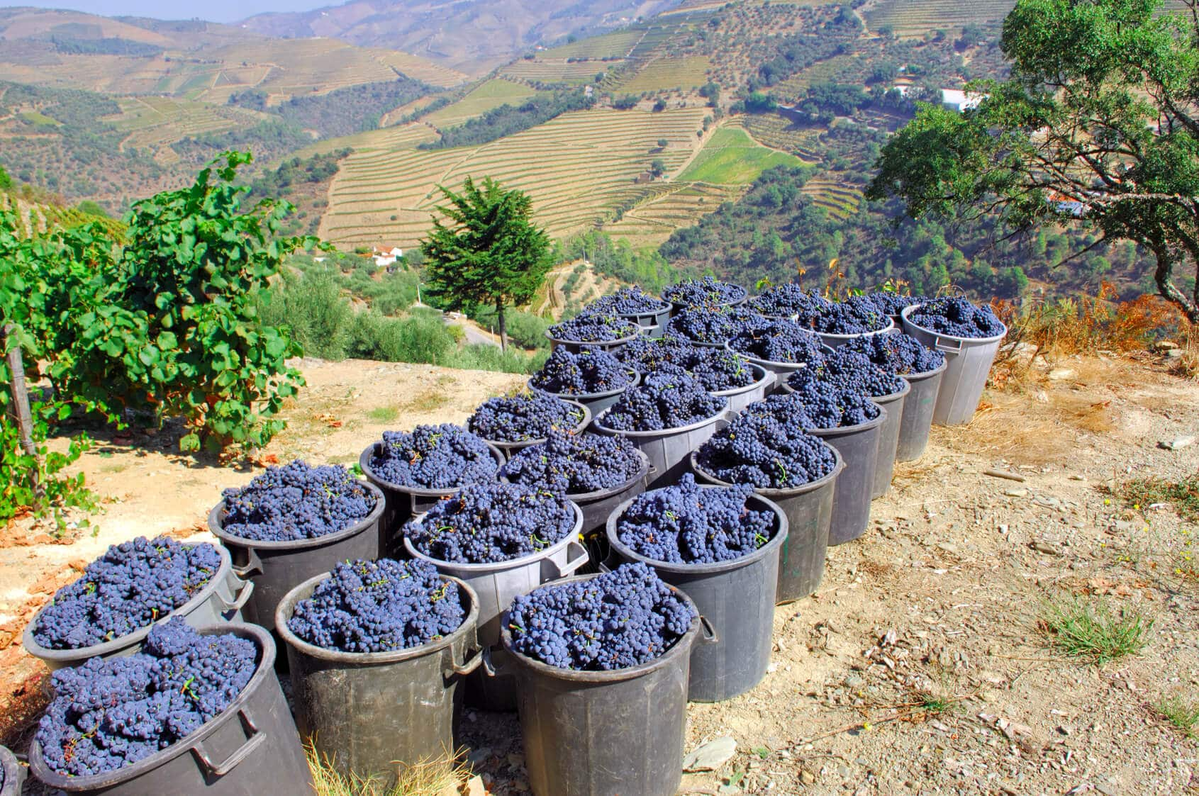 Porto Wine Grapes